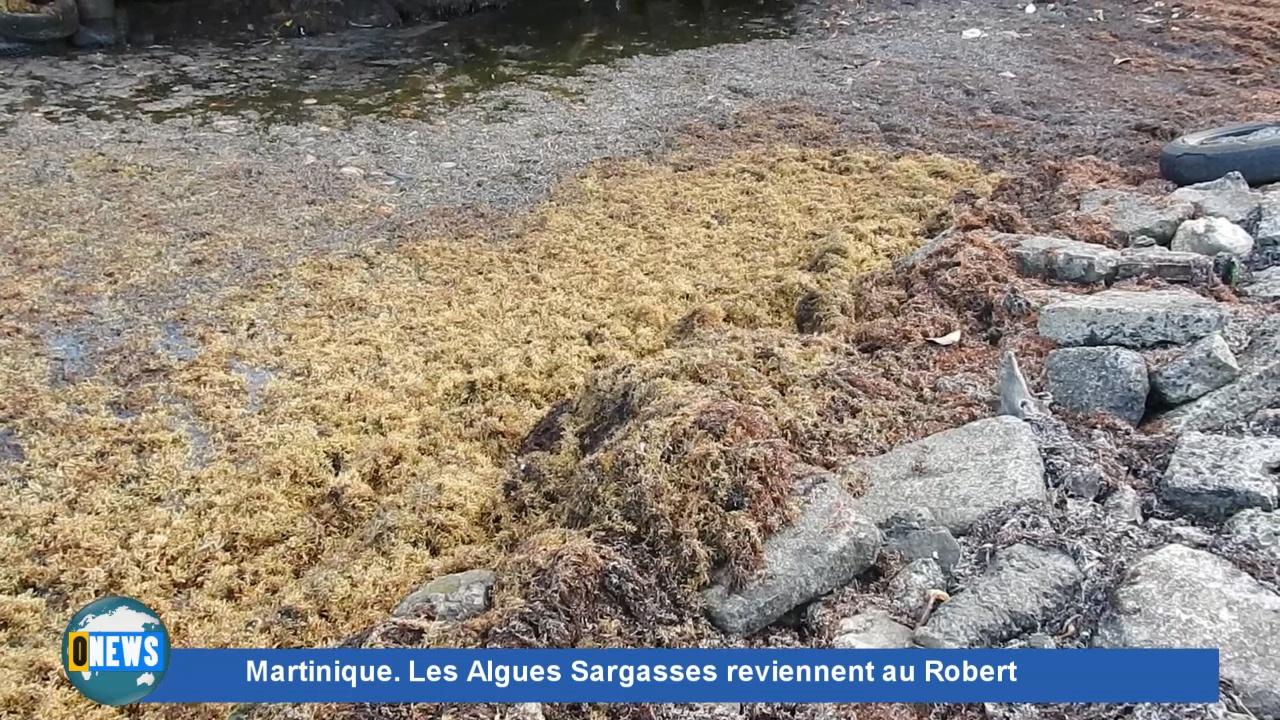 [Vidéo] Onews Martinique. Les Sargasses envahissent à nouveau la commune du Robert.
