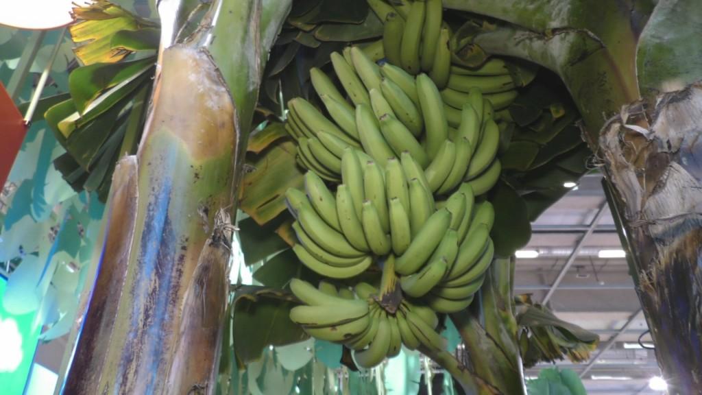 La banane française au cœur de deux évènements mythiques !